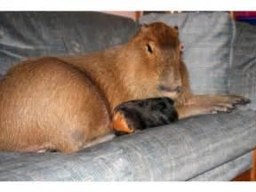 Giant Guinea Pig Pet
