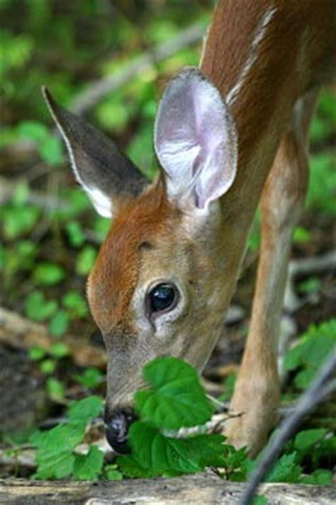 deer   eat north carolina