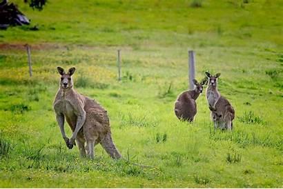 Kangaroo Facts Kangaroos Eat Grass Australia Swim