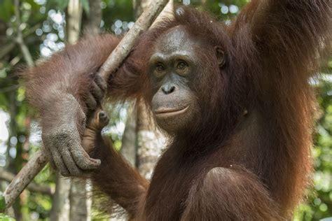 monti october   orangutan project