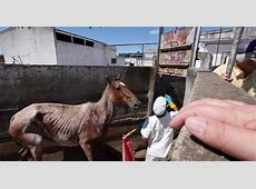 The Horrors of the Horse Meat Trade in Uruguay The Dodo