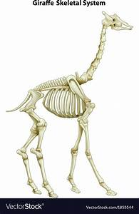 Skeletal System Of A Giraffe Vector Art