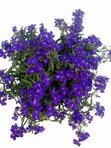 Ampelpflanzen Und Hängepflanzen Garten : m nnertreu blau pflanzenklick ~ Buech-reservation.com Haus und Dekorationen