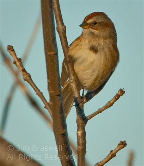 show me a picture of a sparrow top 28 show me a picture of a sparrow another quot life quot bird show me nature