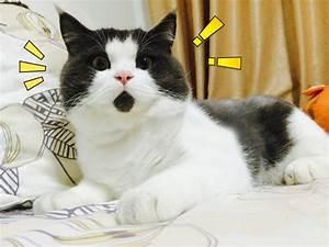 Meet The OMG Cat, The Feline Who Is Always Surprised ...