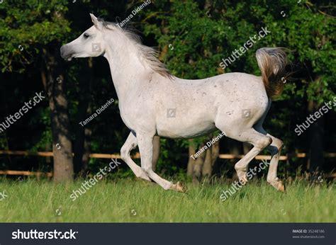 arabian horse motion gentle shutterstock