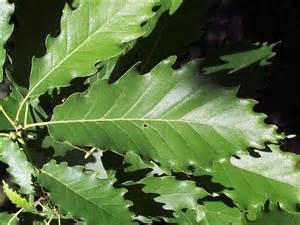Oak Tree Leaves Identification