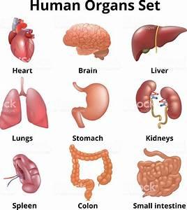 Realistic Human Organs Set Anatomy Stock Vector Art  U0026 More