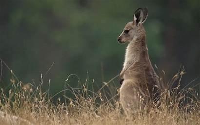Kangaroo Animals Animal Gifs