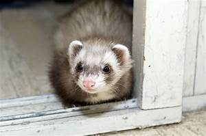 Ferret Care Facts Guide