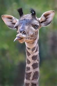 San Diego Zoo Baby Giraffe