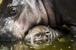 Bristol Zoo Gardens welcomes baby pygmy hippo | Daily Mail ...