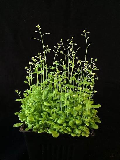 Plant Plants Research Sunlight Arabidopsis Growth Study