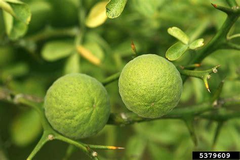 trifoliate orange, Citrus trifoliata (Sapindales: Rutaceae