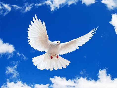 dove white wallpaper white dove wallpapers