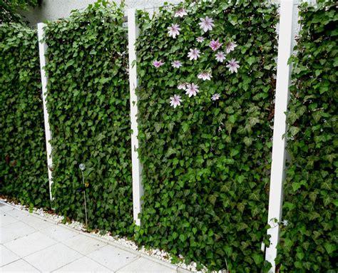 immergrüne bepflanzungen am gartenzaun bl 252 hende hecke efeu mit clematis ostern