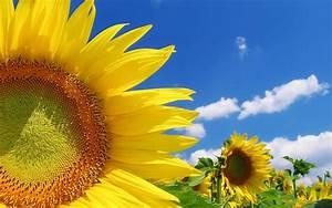 Blumen Im Sommer : bild mit sonnenblumen im sommer hd hintergrundbilder ~ Whattoseeinmadrid.com Haus und Dekorationen