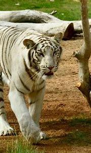 White Tiger | White tiger, Tiger, White