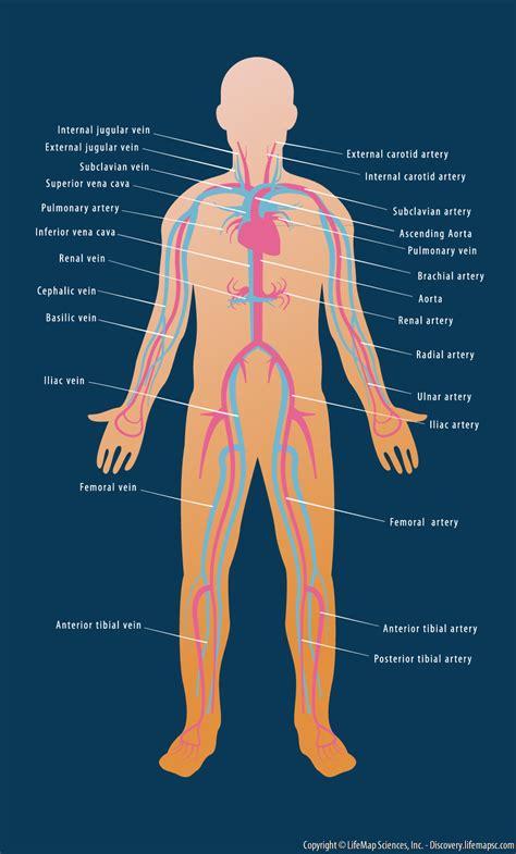 cardiovascularcirculatory system