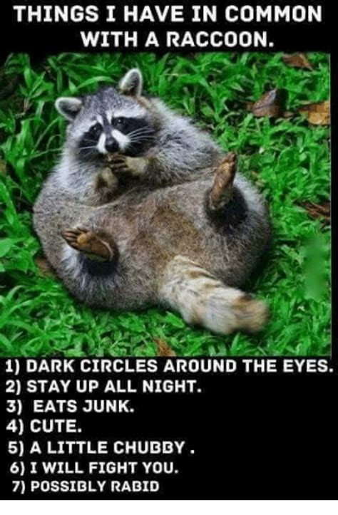 Funny Raccoon Meme - funny raccoon memes of 2016 on sizzle cute