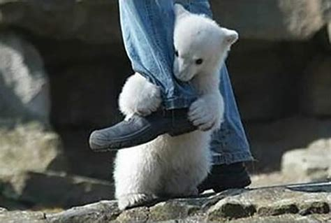 Man Attacked By Polar Bear Plans Lawsuit