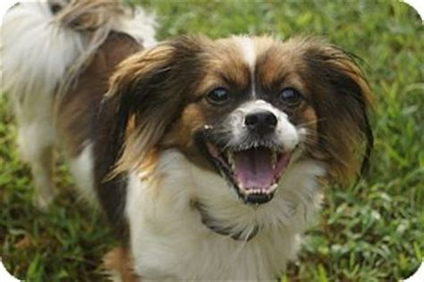 logan adopted dog newark de papillonshih tzu mix