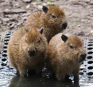 Baby capybaras | Flickr - Photo Sharing!