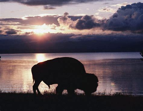 bison wallpaper  wallpapersafari