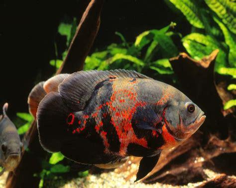10 jenis ikan hias air tawar yang paling banyak dipelihara