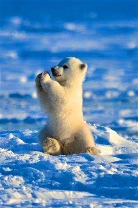 ledn 237 medvěd co tlesk 225 za vystavěn 237 zviřata pinterest