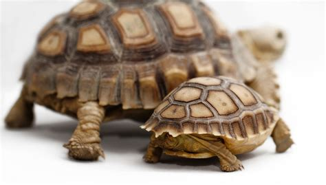 Sulcata Tortoise Bedding by Learn About Nature Important Facts About The Baby
