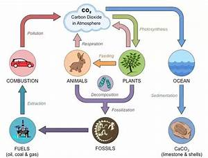 How Is The Carbon Cycle  Photosynthesis And Cellular