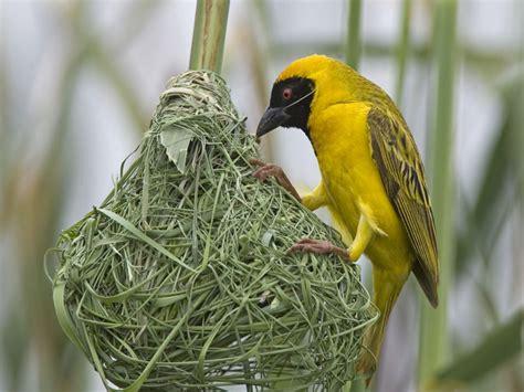 weaver bird weaver bird always greener