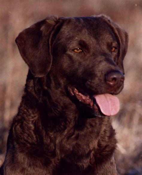 chesapeake labrador retrievers pictures to pin on pinsdaddy