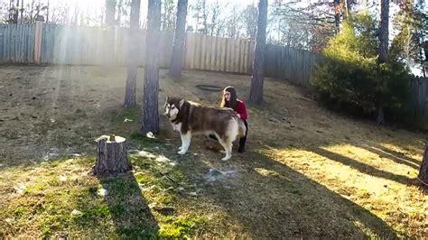 giant alaskan malamute starting to shed winter coat youtube