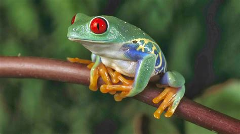 tree frogs sunshine frog the red eyed tree frog