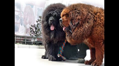 Top 10 Expensive Dog Breeds 2014 YouTube