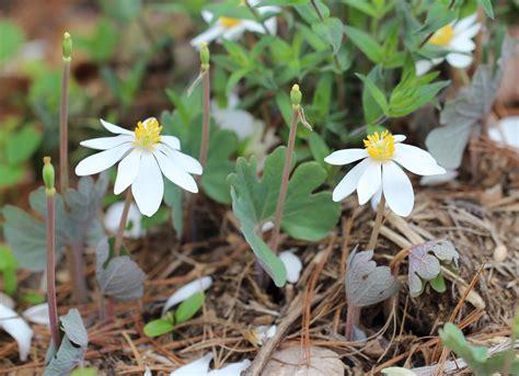 woodland wildflowers brave woodland wildflowers