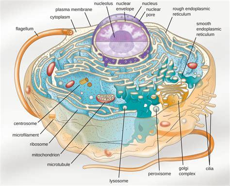 Unique Characteristics Eukaryotic Cells Microbiology