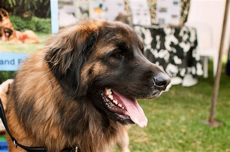 How Much Do Leonberger  Ee  Dogs Ee   Cost Howmuchisit Org
