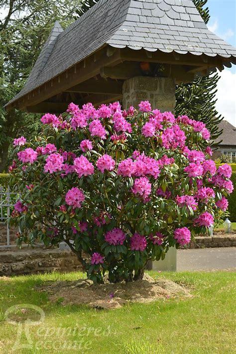 rhododendron hybride kruschke p 233 pini 232 re lecomte