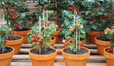 10 tips on growing tomatoes in containers or pots home