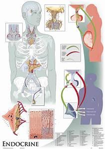 Oversize Anatomy And Physiology Chart Set