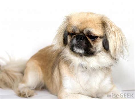 pekingese japanese chin mix google search dog manners