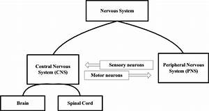 Schematic Diagram Ofthe Nervous System  Ns   The Cns Is