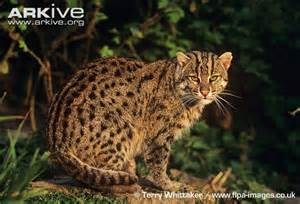 fish cat fishing cat photos and facts prionailurus