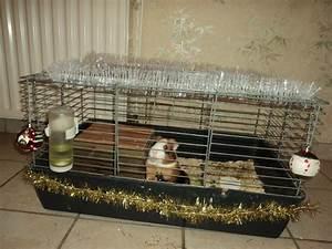Cage A Cochon D Inde : le cobaye cochon d 39 inde ~ Dallasstarsshop.com Idées de Décoration