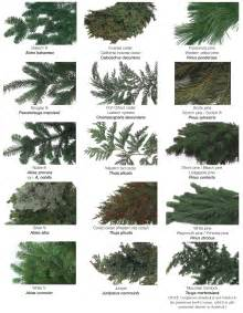 Christmas Tree Type Plants by Types Of Evergreen Trees The Tree Center
