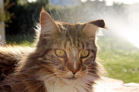 cat  floppy ear  couple  days   maine coon