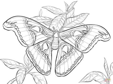 realistic atlas moth coloring page  printable